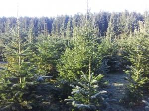 Kerstbomen te koop - www.hobbyveld.nl