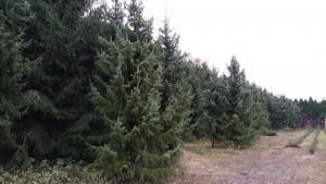 kerstbomen 6 tot 8 meter hoog - www.hobbyveld.nl
