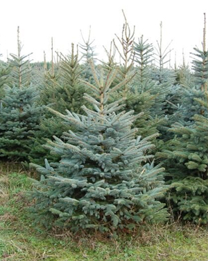Blauwspar (Picea Glauca)