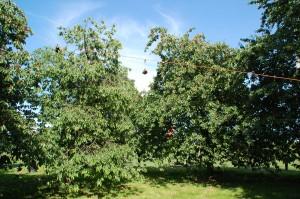 kersen boomgaard